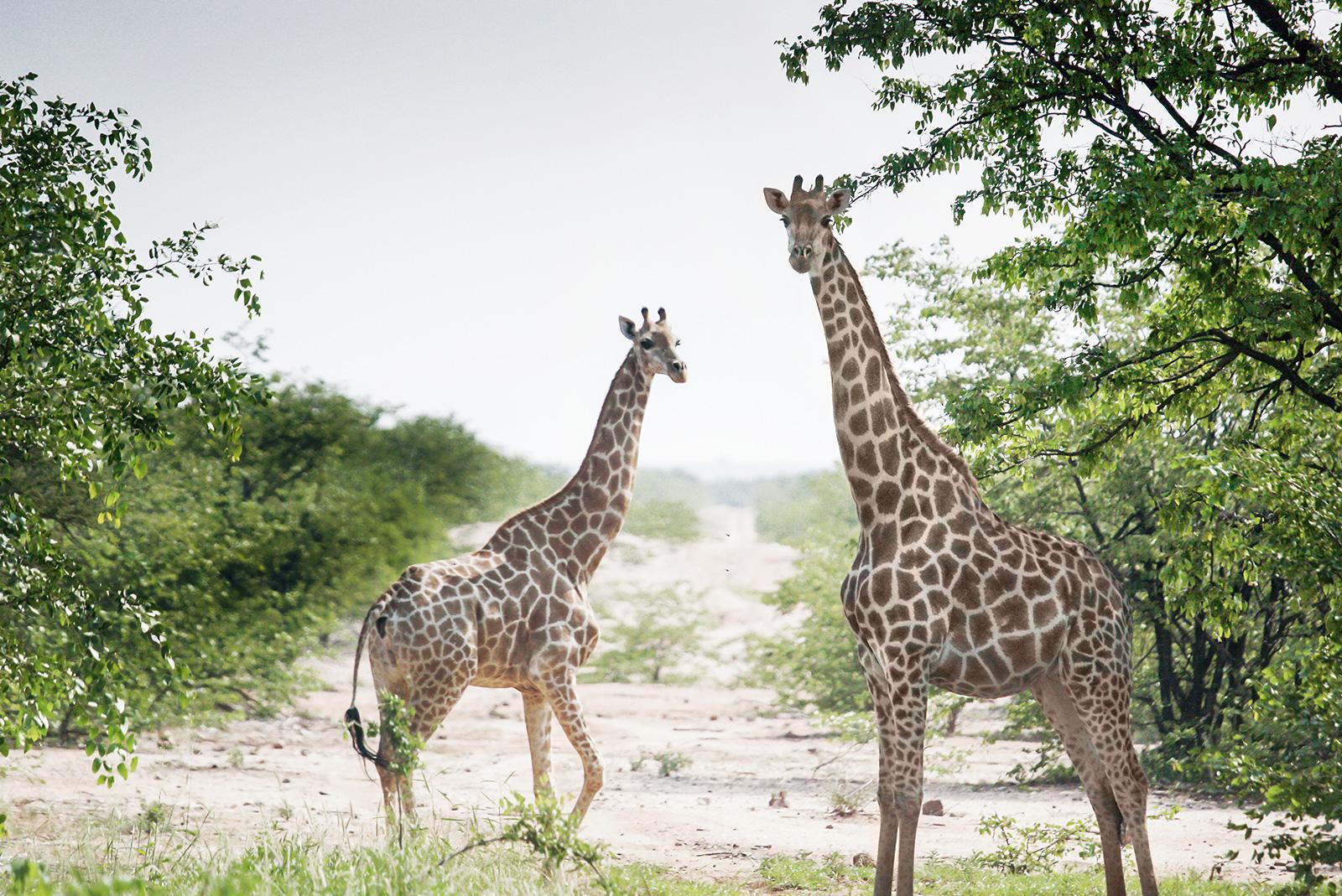 Forevermark Natur Giraffe